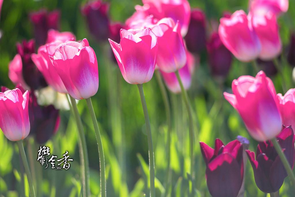 ►►► Sunny Tulips 陽光鬱金香 ● DV ◄◄◄