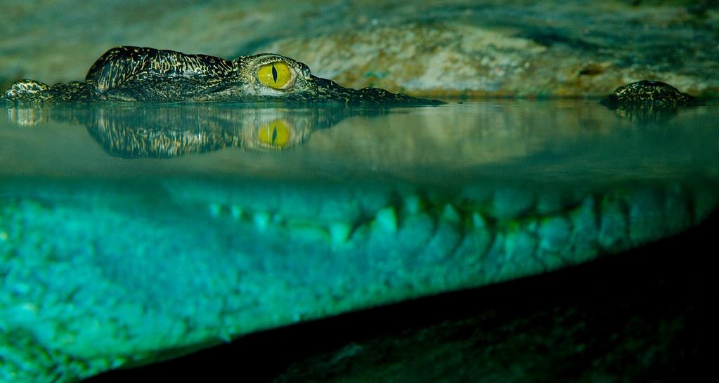 Siamese Crocodile (Crocodylus siamensis)_11