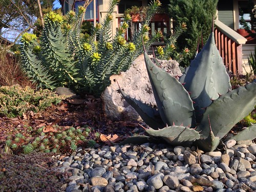 Euphorbia blooms and agave parryi
