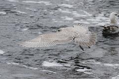 Iceland Gull?