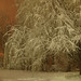Snowy Night Willow
