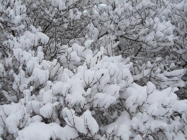 Luminen unkarinsyreeni (Syringa josikaea) Hämeenlinnassa 3.2.2015