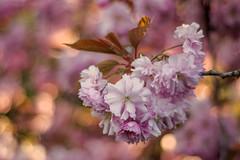 When blossom blossoms