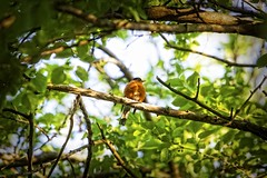puffy red bird