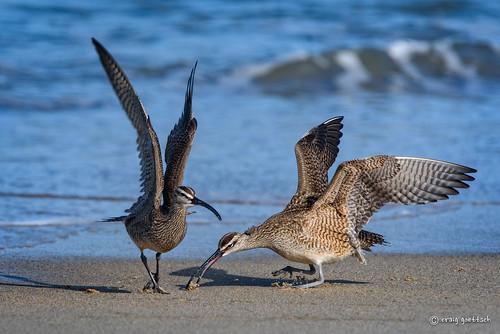 ocean california blue bird beach water nikon ngc npc d750 avian sandcrab squabble whimbrel 14extender montereypeninsula 850mm salinasrivernwr sunrays5