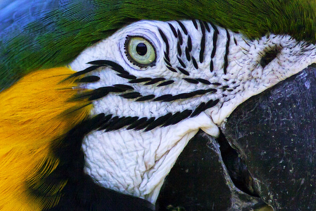 Blue Macaw (close-up)