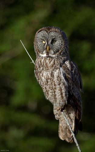 Great Gray Owl hunting a spruce bog