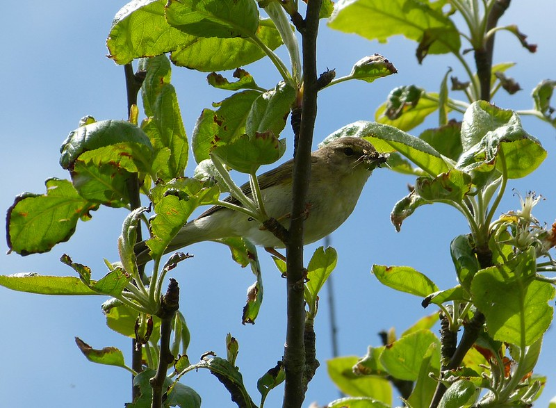 P1050005 - Willow Warbler, Kenfig NNR