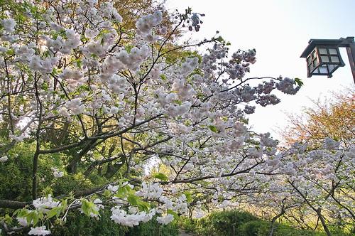 【写真】2013 桜 : 梅宮大社/2019-06-14/IMGP0202
