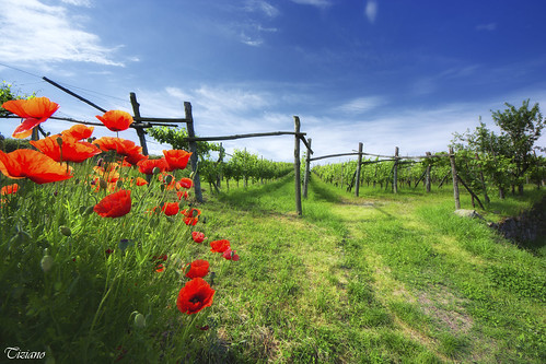 poppies and Erbaluce, vineyards on Lake Viverone