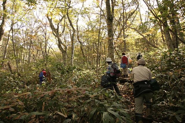 さらに登ると,ミズナラやブナの若齢林になった.