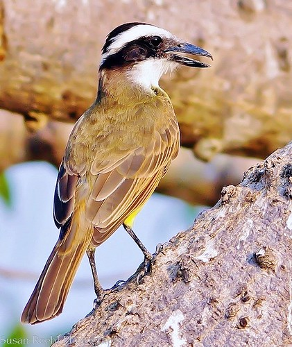 Boat-billed Flycatcher, The Pantanal, Brazil (Explored)