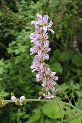 Melianthaceae
