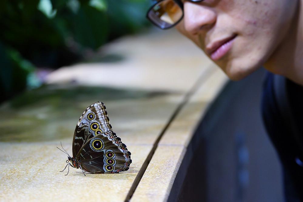 美洲蛺蝶 Morpho peleides-2