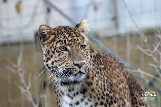 Chinesischer Leopard Julius 2013_10_30 068