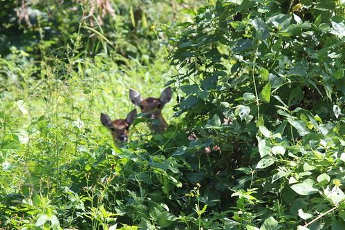 後灣海岸林,出現梅花鹿。