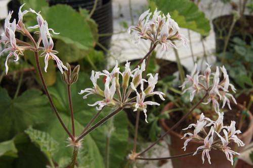 P. auritum var. carneum