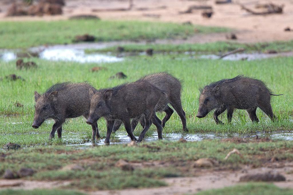 Wild Boar Sri Lanka 2013 2013-11-27
