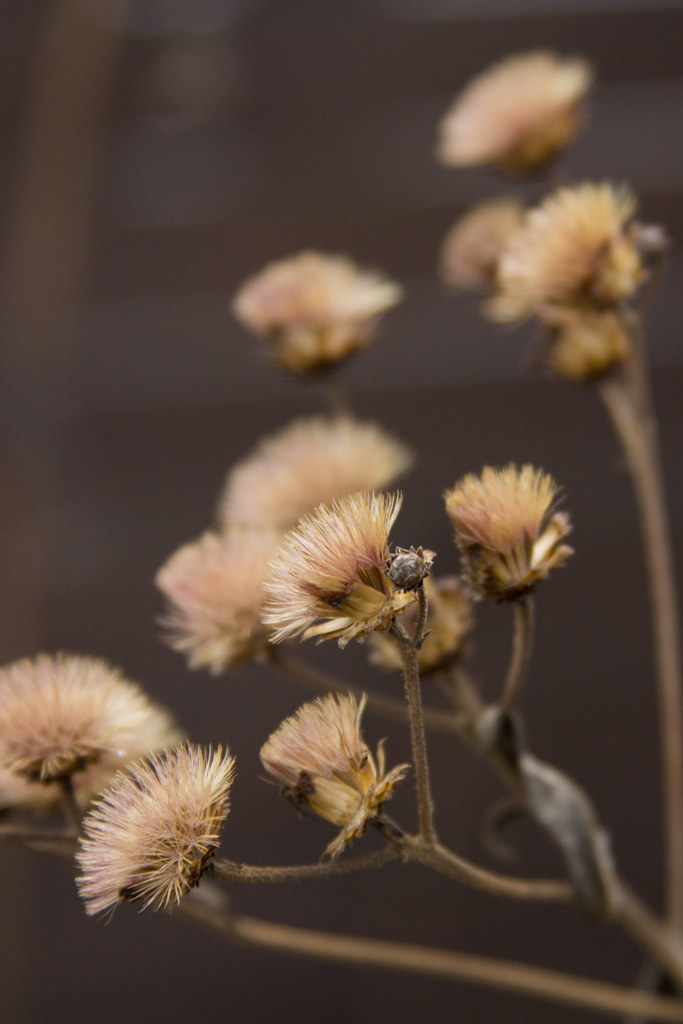 vernonia seed heads