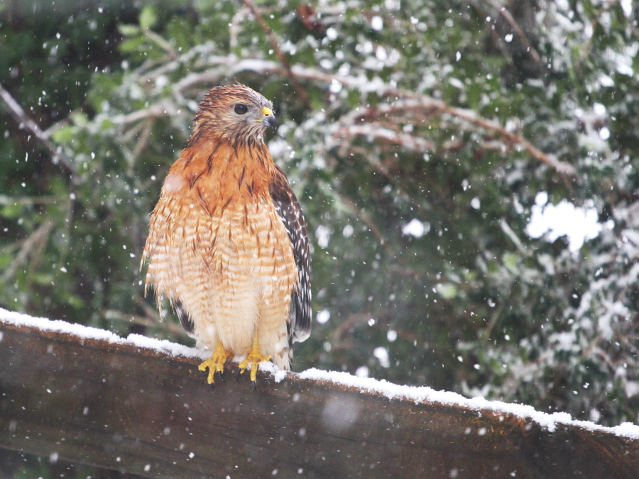 hawk_in_snow2