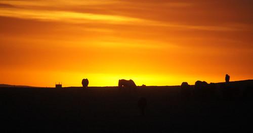 sunset horses iceland farm silhouettes