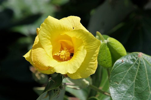 Talipariti tiliaceum var. pernambucense = Hibiscus pernambucensis (Malvaceae)