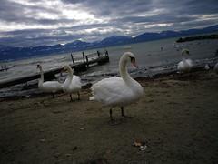 Swans 45331076