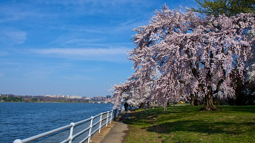 Massive Cherry Blossom Tree by Geoff Livingston