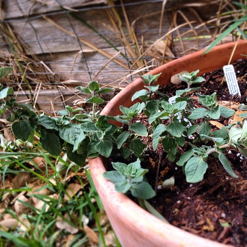 I went outside to check on the #herb #garden this morning and thought the oregano looked mighty fine.