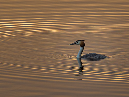 Great Crested Grebe - Dawn Light