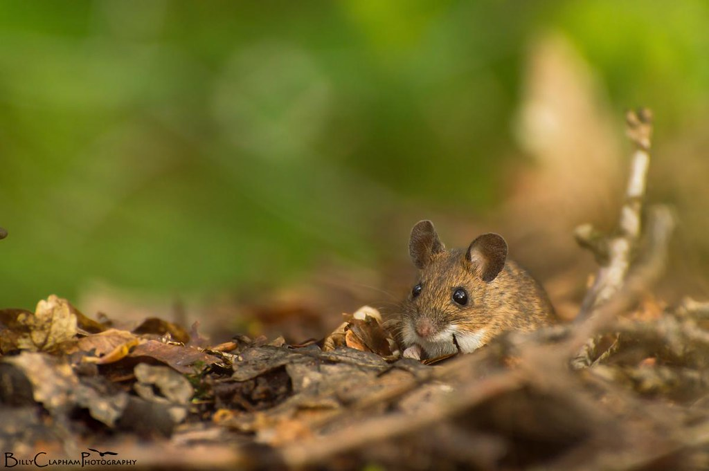 wood mouse sheffield bluebell wood billy clapham