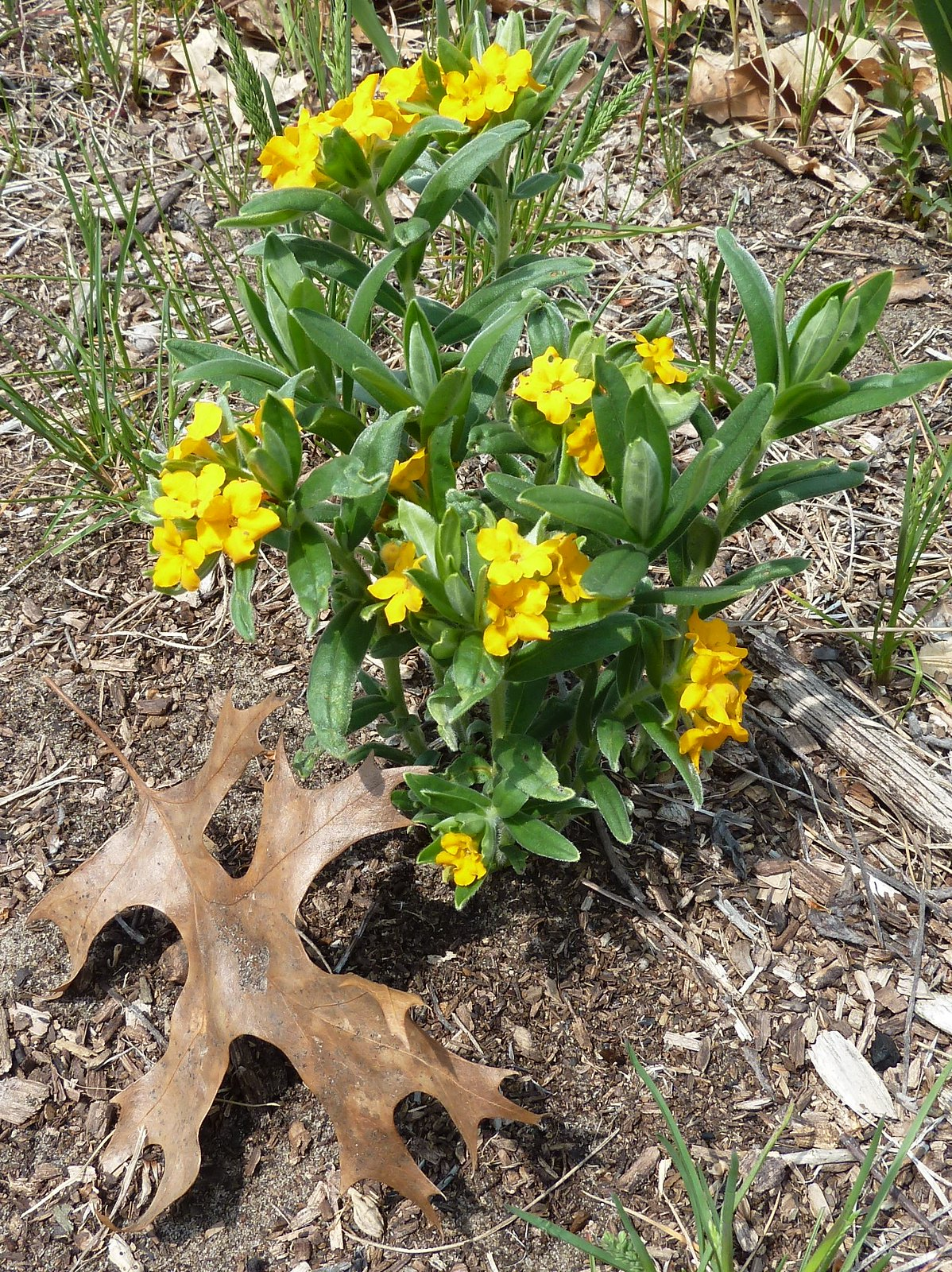 Zion IL Illinois Beach State Park Yellow Flowers and Oa…