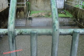 CIMG1215 Cocodrilos en el  Infierno Oni Yama Jigoku (Beppu) 13-07-2010 copia