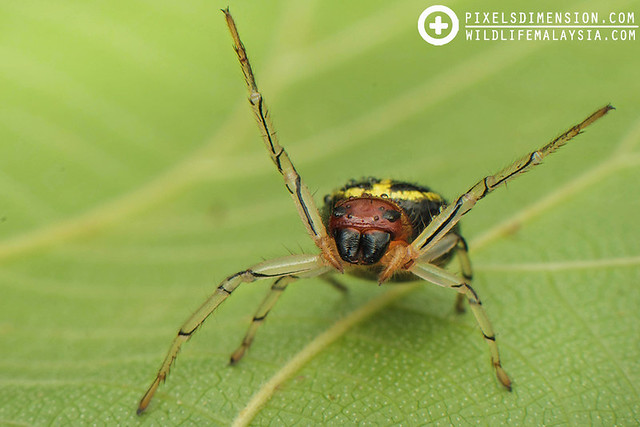 An angry, gravid Flat-abdomen Crab Spider- Camaricus maugei ♀