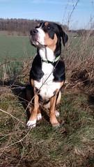 dog breed, animal, hound, harrier, dog, american foxhound, pet, mammal, finnish hound, hamiltonstã¶vare, greater swiss mountain dog, estonian hound, entlebucher mountain dog, hunting dog, serbian tricolour hound, beagle,