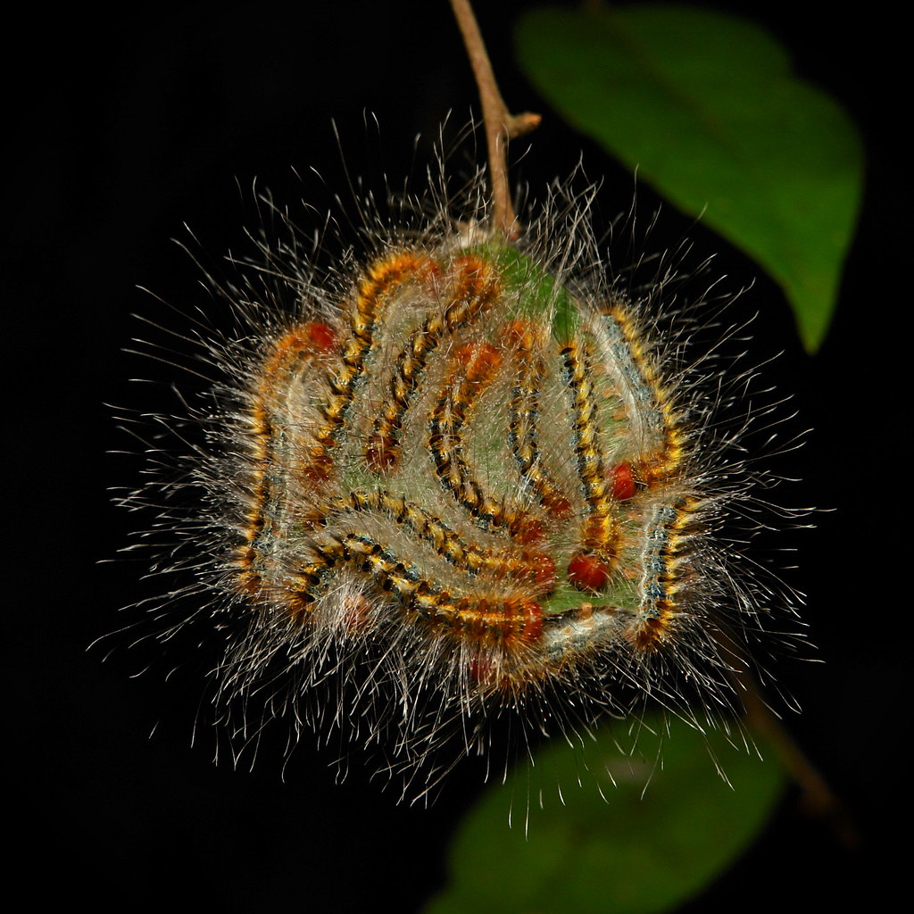 Moth Caterpillars