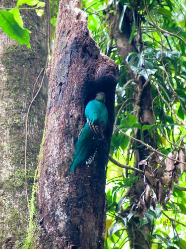La Réserve de Monteverde: un Quetzal Resplendissant femelle