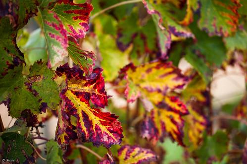 Vineyards in fall