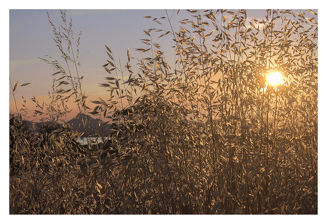 Moudros: a celebration of wheat at sunset