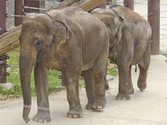 National Zoo  (280) Asian Elephant