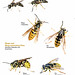 Wasps and Wasp-mimicking Flies - Vespidae and Syrphidae