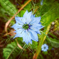 It's Saturday & the sun is shinning  #blue #HashTags #beautiful #bloom #blooms #blossom #botanical #flower #flowermagic #floweroftheday #flowers #flowerslovers #flowersofinstagram #flowerstagram #flowerstyle #igers #insta_pick_blossom #instablooms #i