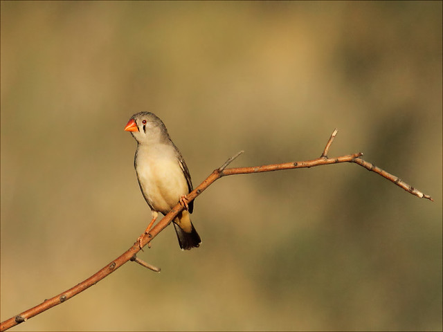 How to Tell the Sex of a Finch Bird  Animals  momme