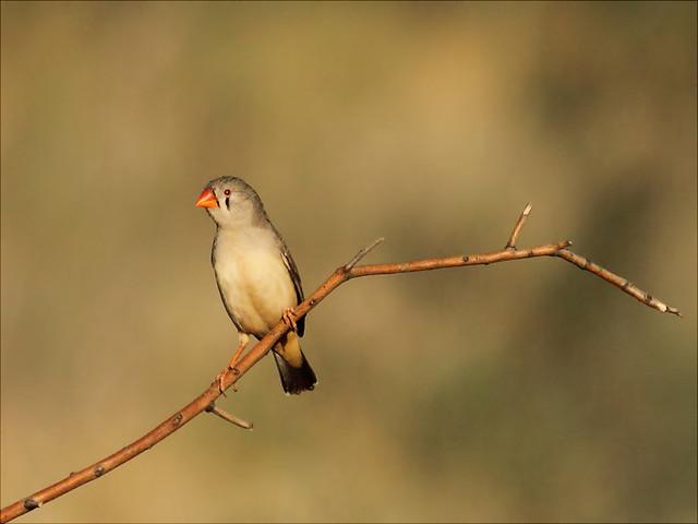 Zebra Finch Bird Species Profile  thesprucepetscom