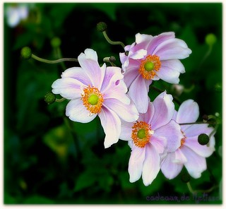 'Kriemhilde' Japanese Anemone or Windflower