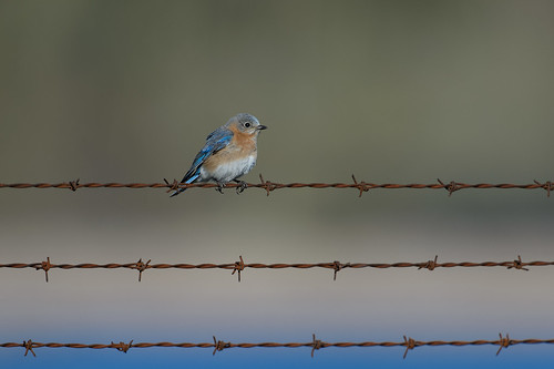 Bluebird on Barbed-wire-40867.jpg