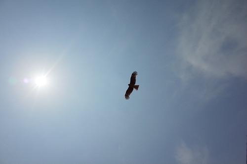 Black Kite 01