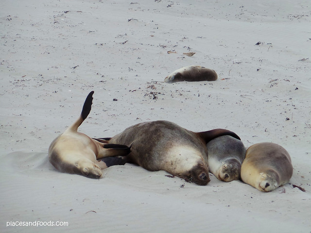 kangaroo island seal bay sleeping seals