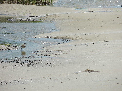 Willet among the periwinkles