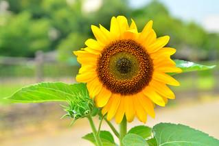 ヒマワリ(向日葵) / Sunflower